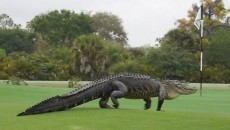 HT_alligator_golf_course_2_jtm_150311_16x9_992